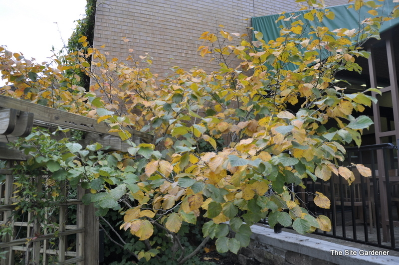 Witch hazel growth rate 28 images hamamelis x for Randy stewart builder