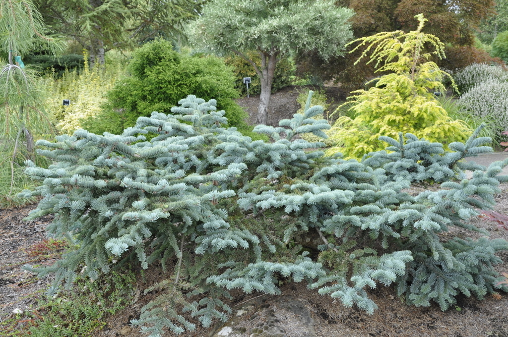 abies procera glauca prostrata the site gardener. Black Bedroom Furniture Sets. Home Design Ideas