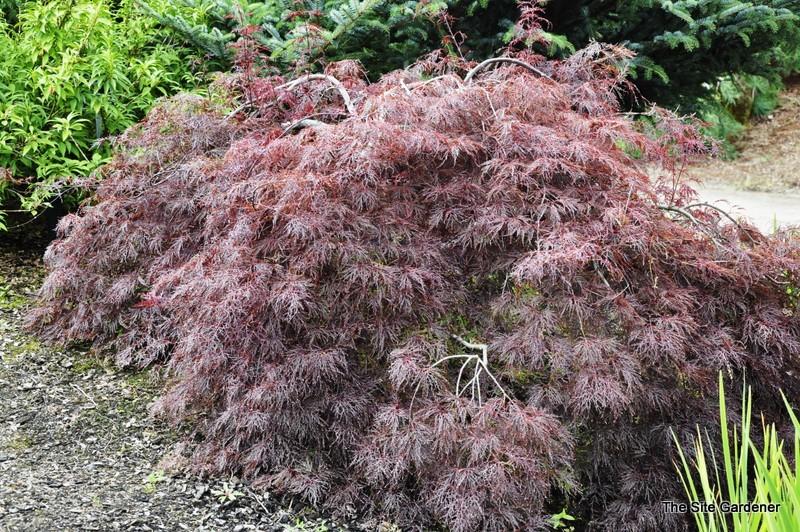 Acer Palmatum Red Filigree Lace Hess Landscape Nursery