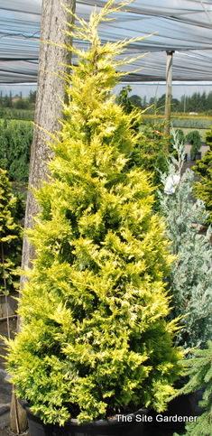 Cupressus Leylandii Gold Rider Common Name Leyland Cypress