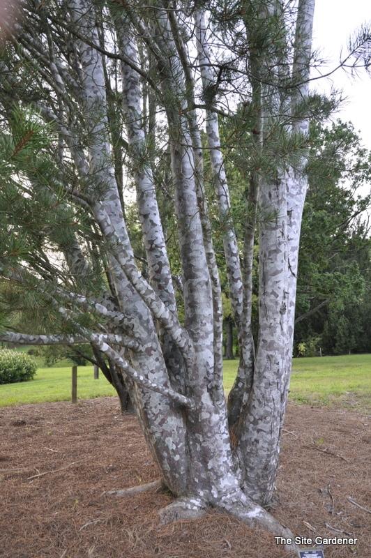 Pinus Bungeana Silver Ghost Hess Landscape Nursery