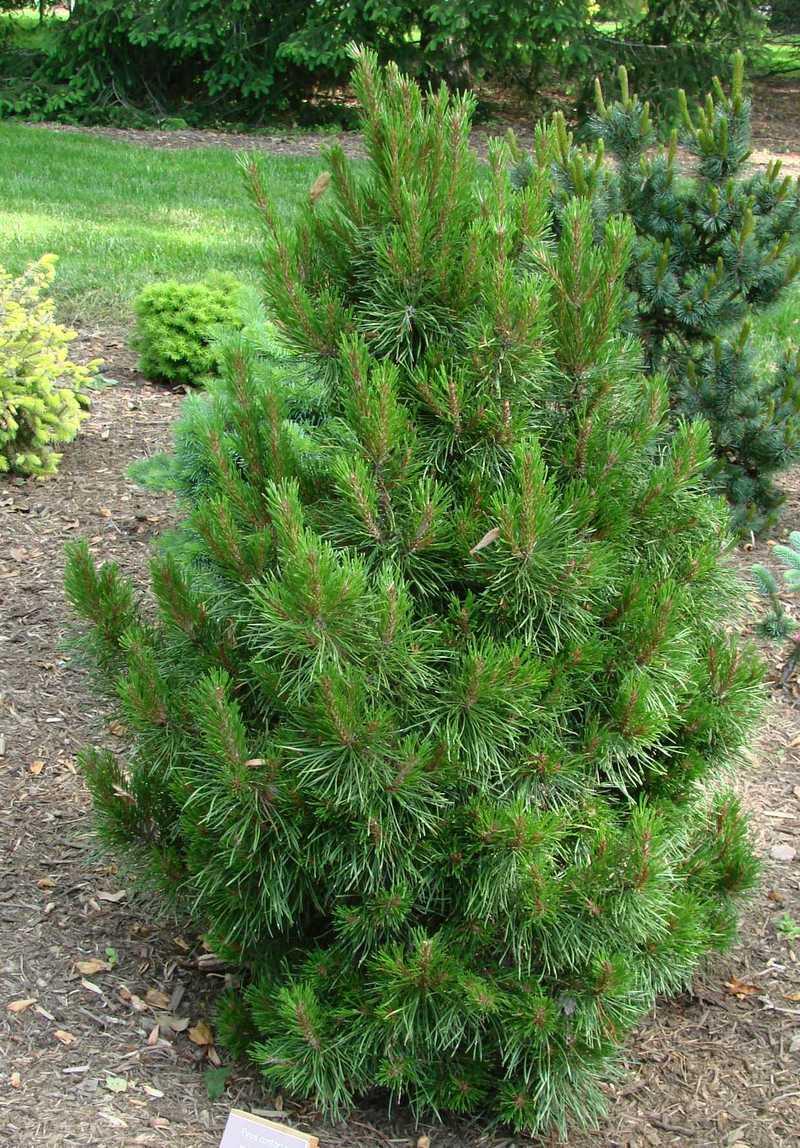 Pinus Contorta Willow Creek