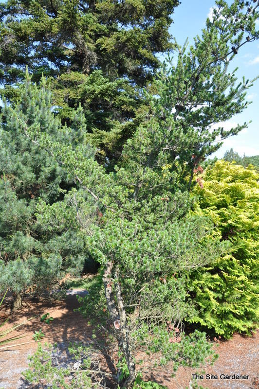 pinus parviflora 39 glauca nana 39 the site gardener. Black Bedroom Furniture Sets. Home Design Ideas