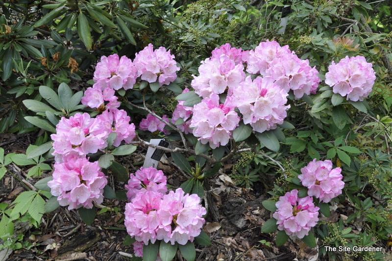 rhododendron hachmanns feuerschein the site gardener. Black Bedroom Furniture Sets. Home Design Ideas