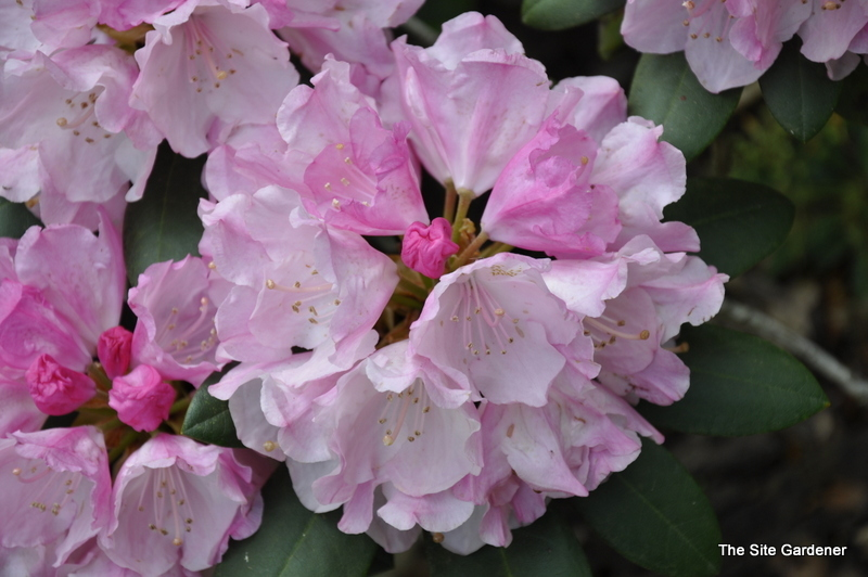 rhododendron hachmanns feuerschein the site gardener. Black Bedroom Furniture Sets. Home Design Ideas