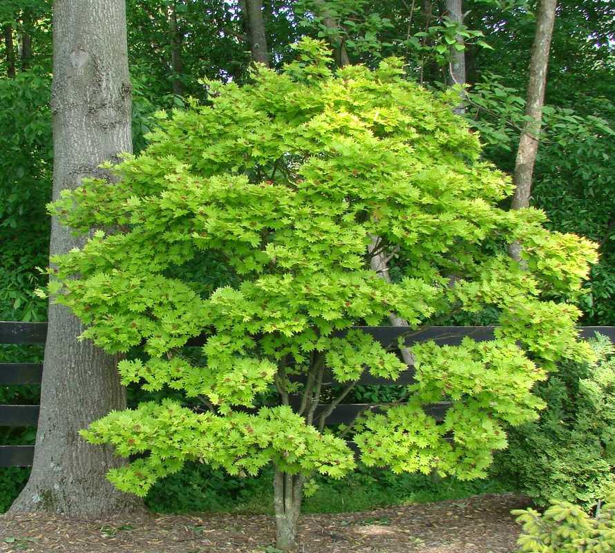 Acer Shirasawanum Aureum Hess Landscape Nursery Finleyville