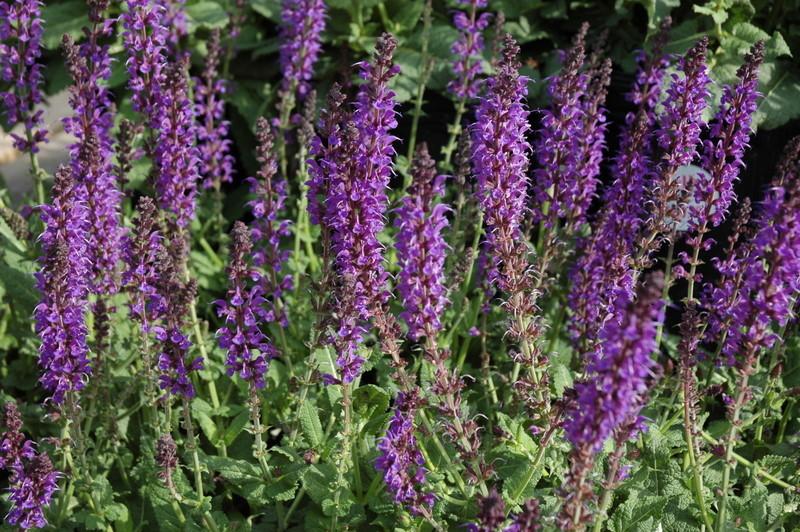 Salvia Nemerosa May Night The Site Gardener