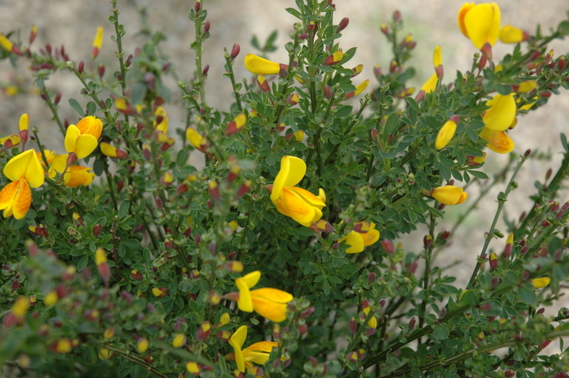 Cytisus madame butterfly hess landscape nursery finleyville evergreen shrub with fragrant yellow flowers this attractive evergreen shrub blooms in spring threadlike foliage does well in poor soils mightylinksfo
