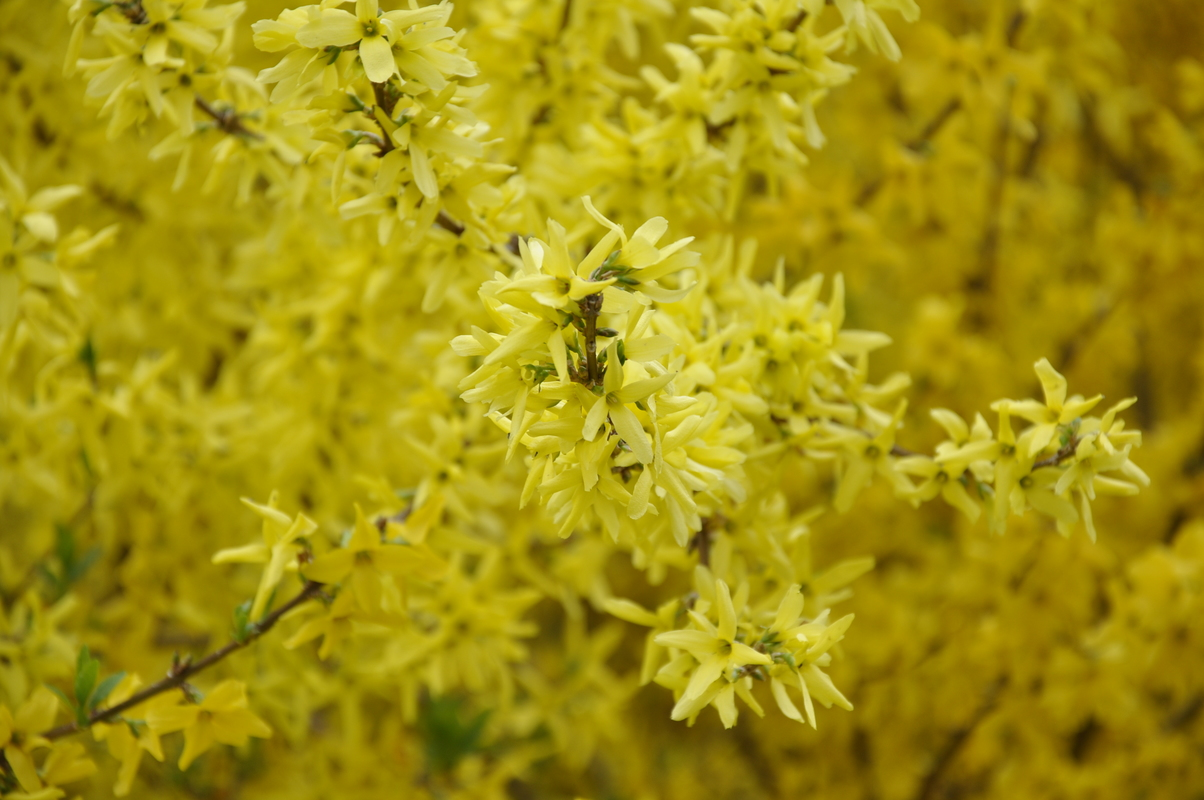 Mini Gold Plant : Forsythia mini gold the site gardener