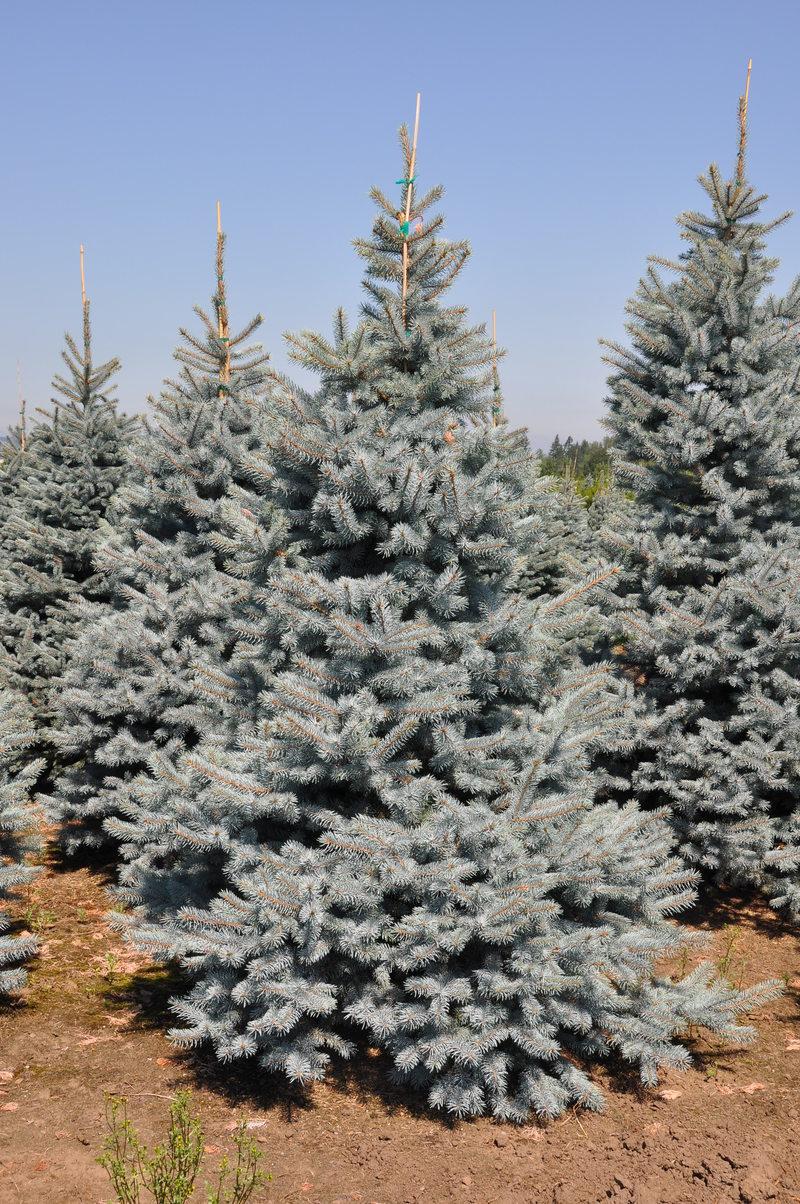Picea pungens blue select hess landscape nursery for Blue select
