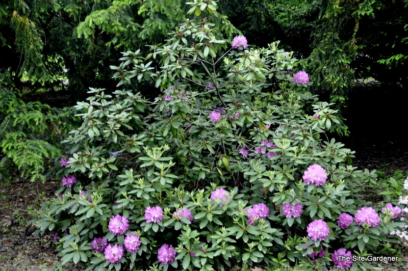 top 28 blooming evergreens the telegraph s top 10 spring flowering shrubs tips for. Black Bedroom Furniture Sets. Home Design Ideas