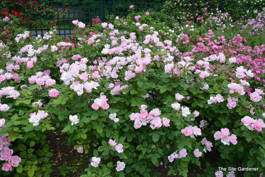 Rosa 'Blush Knock Out' - Hess Landscape Nursery - Finleyville ...