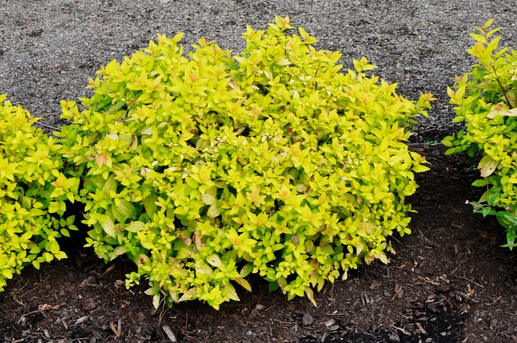 Picture of Live JapaneseSpirea aka Spiraea j. 'Goldmound' Plant Fit 5 Gallon Pot