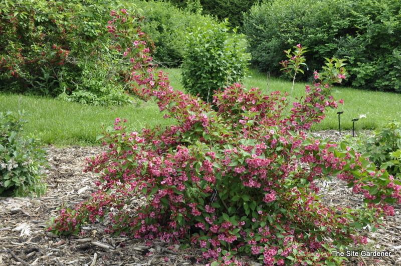 weigela florida red prince hess landscape nursery finleyville pennsylvania. Black Bedroom Furniture Sets. Home Design Ideas