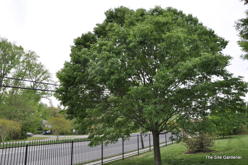 Zelkova Serrata Green Vase The Site Gardener