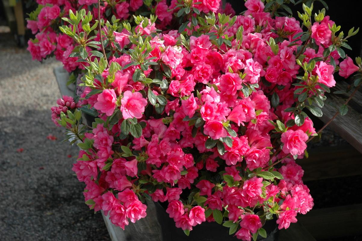 Plant Details - A&A garden