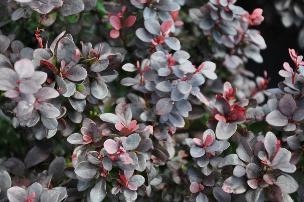 Berberis Thunbergii Atropurpurea Crimson Pygmy Berberis thunbergii f