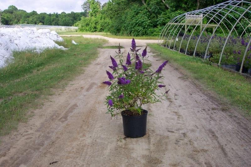 Buddleia Purple Emperor The Site Gardener