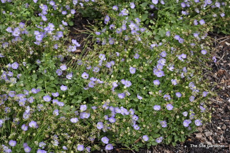 Low Growing Perennial Is Eye Catching Early In The Season Then Blooms Again Late Summer 2 Blue Violet Flowers Are Aromatic