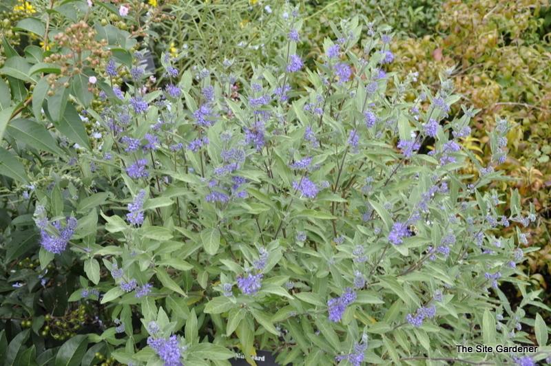 Caryopteris longwood blue the site gardener - Planting fruit trees in the fall a garden full of vigor ...