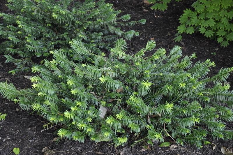 Cephalotaxus harringtonia duke gardens the site gardener for Duke gardens plum yew