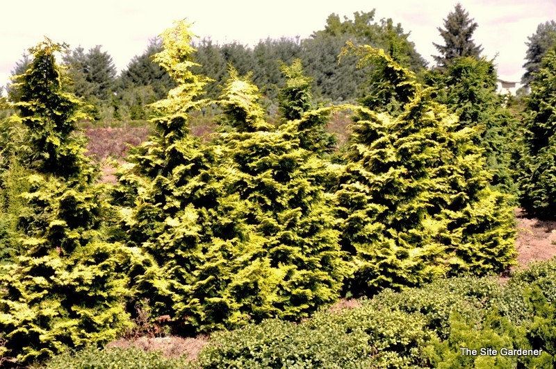 Chamaecyparis Obtusa Confucius The Site Gardener