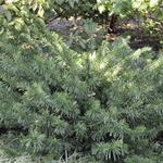 Cephalotaxus harringtonia duke gardens hess landscape nursery finleyville pennsylvania for Duke gardens plum yew