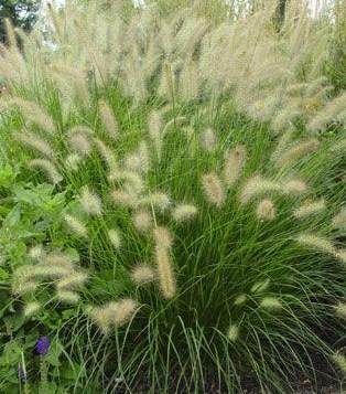 Grass pen hameln dwarf fountain the site gardener for Short ornamental grasses full sun