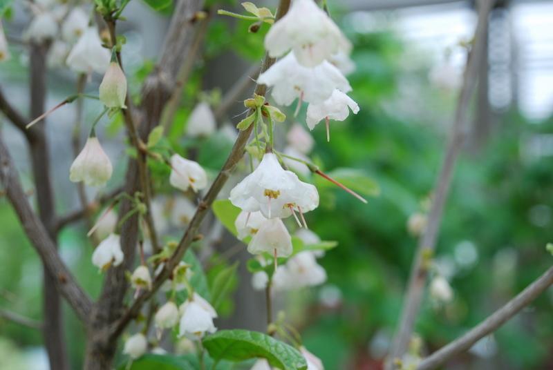 Halesia tetraptera var monticola hess landscape nursery plant type flowering ornamental tree mightylinksfo