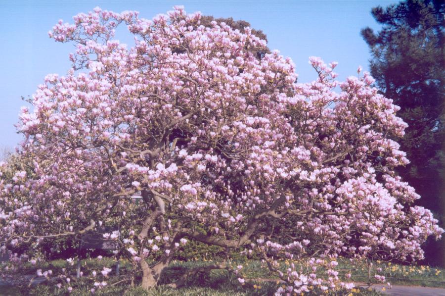 magnolia x soulangiana 39 rustica rubra 39 the site gardener. Black Bedroom Furniture Sets. Home Design Ideas
