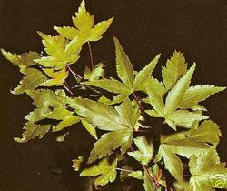 Acer Palmatum Shojo Nomura Hess Landscape Nursery Finleyville