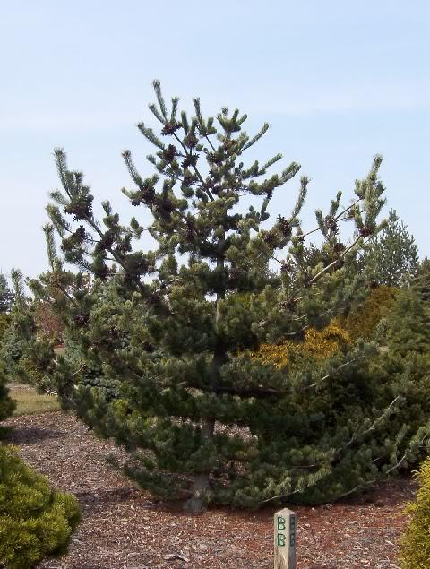 pinus parviflora 39 glauca brevifolia 39 hess landscape. Black Bedroom Furniture Sets. Home Design Ideas