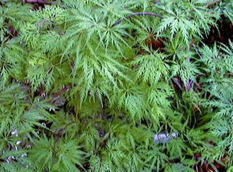 Acer palmatum 'Green Filigree' - The Site Gardener
