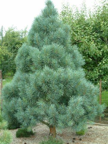 Pinus Sylvestris Bonna The Site Gardener