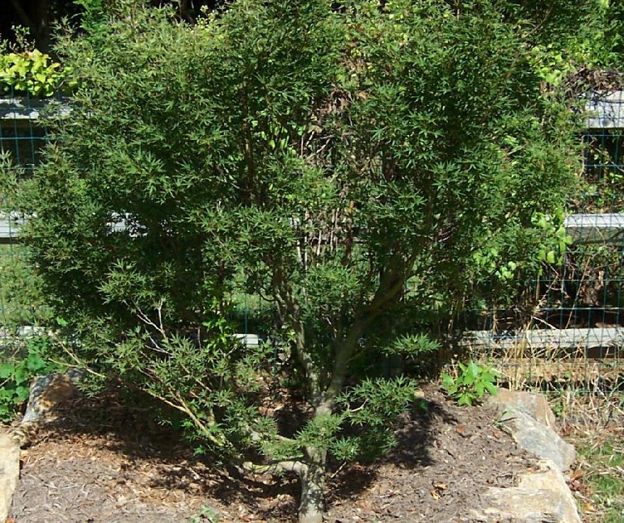 Acer Palmatum Okushimo Hess Landscape Nursery Finleyville