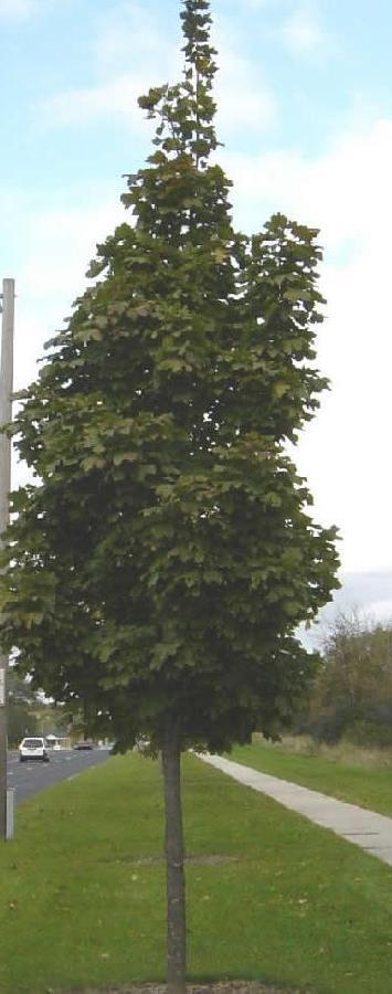Acer Platanoides Columnare The Site Gardener