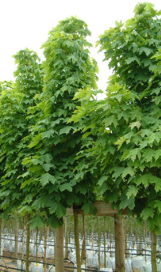 Acer platanoides 39 columnare 39 the site gardener - Arce platanoide ...