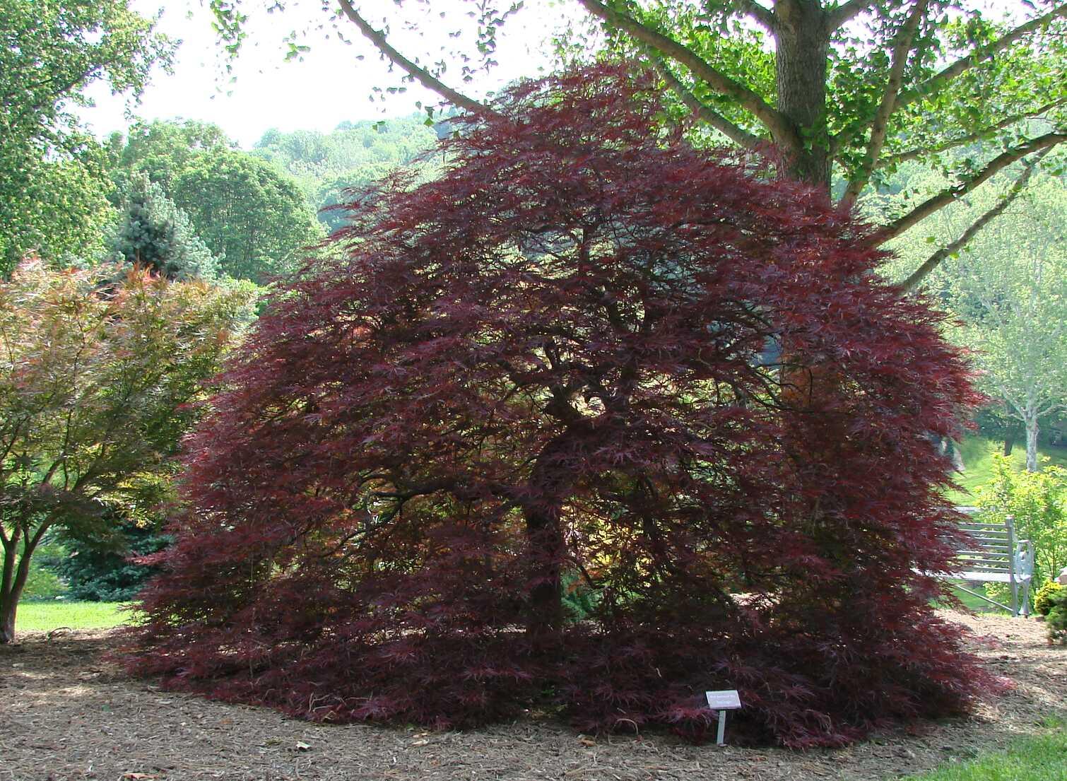 Acer Palmatum Dissectum Red Dragon The Site Gardener
