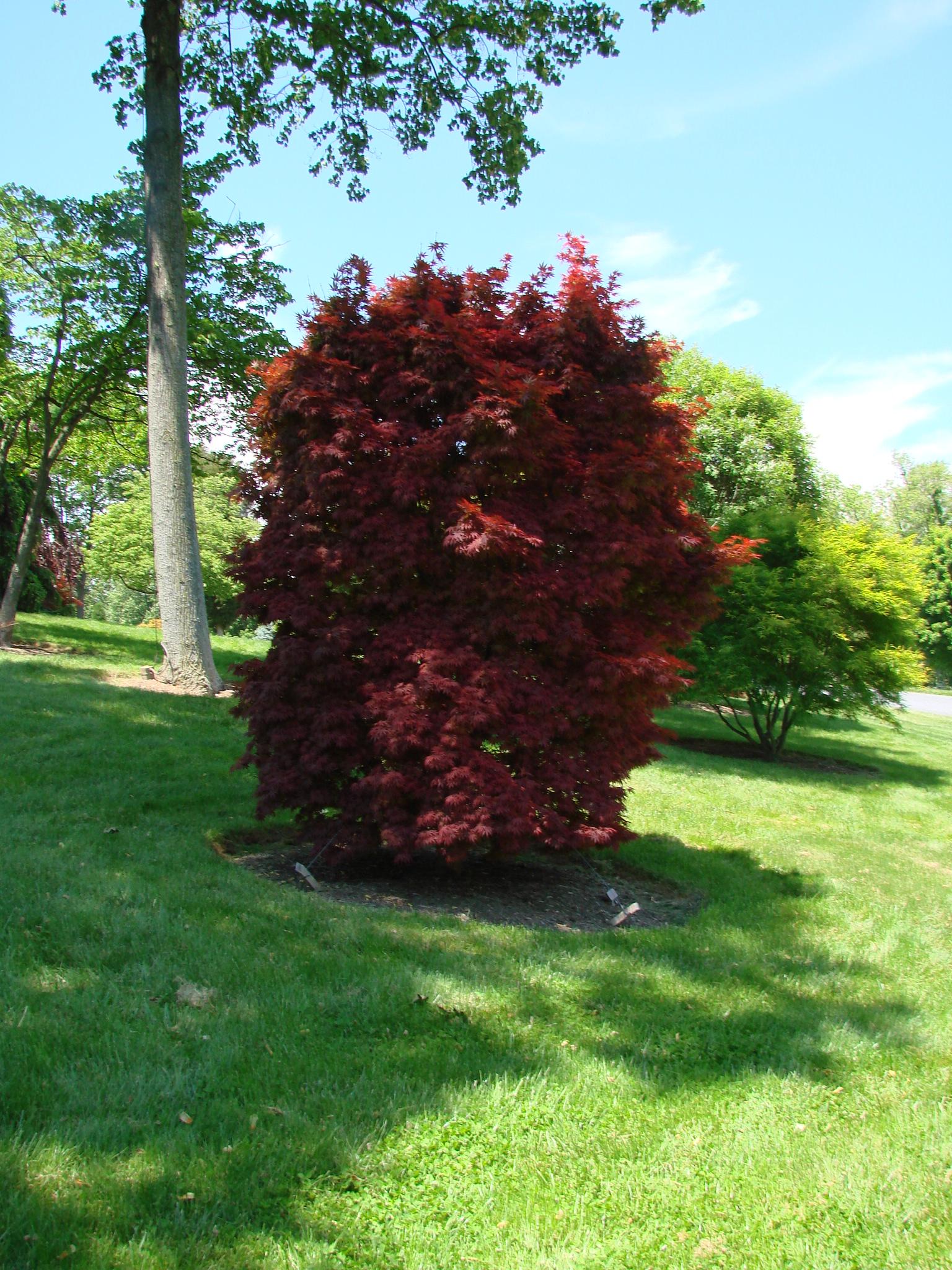 Acer Palmatum Pixie Hess Landscape Nursery Finleyville