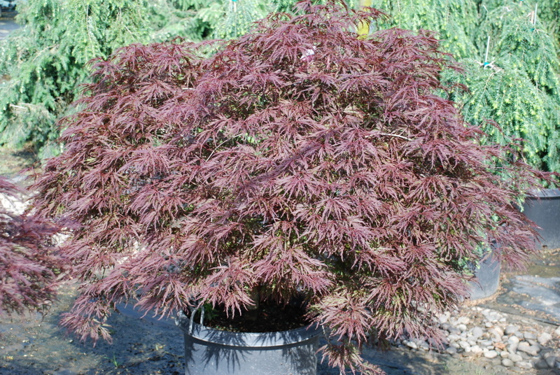acer palmatum dissectum red dragon 39 hess landscape nursery finleyville pennsylvania. Black Bedroom Furniture Sets. Home Design Ideas