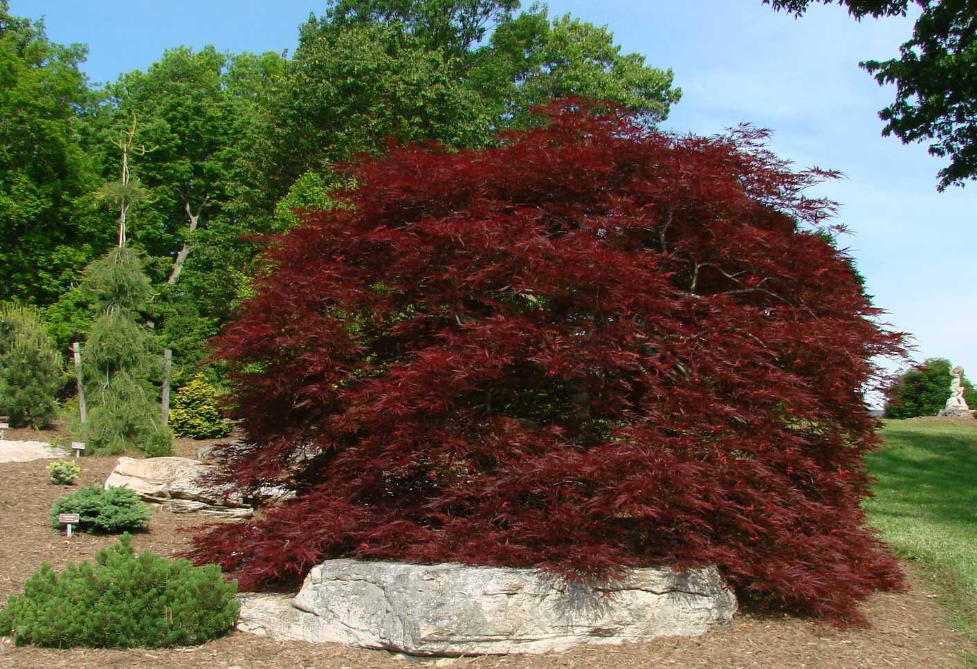 Acer Palmatum Dissectum Red Dragon Hess Landscape Nursery