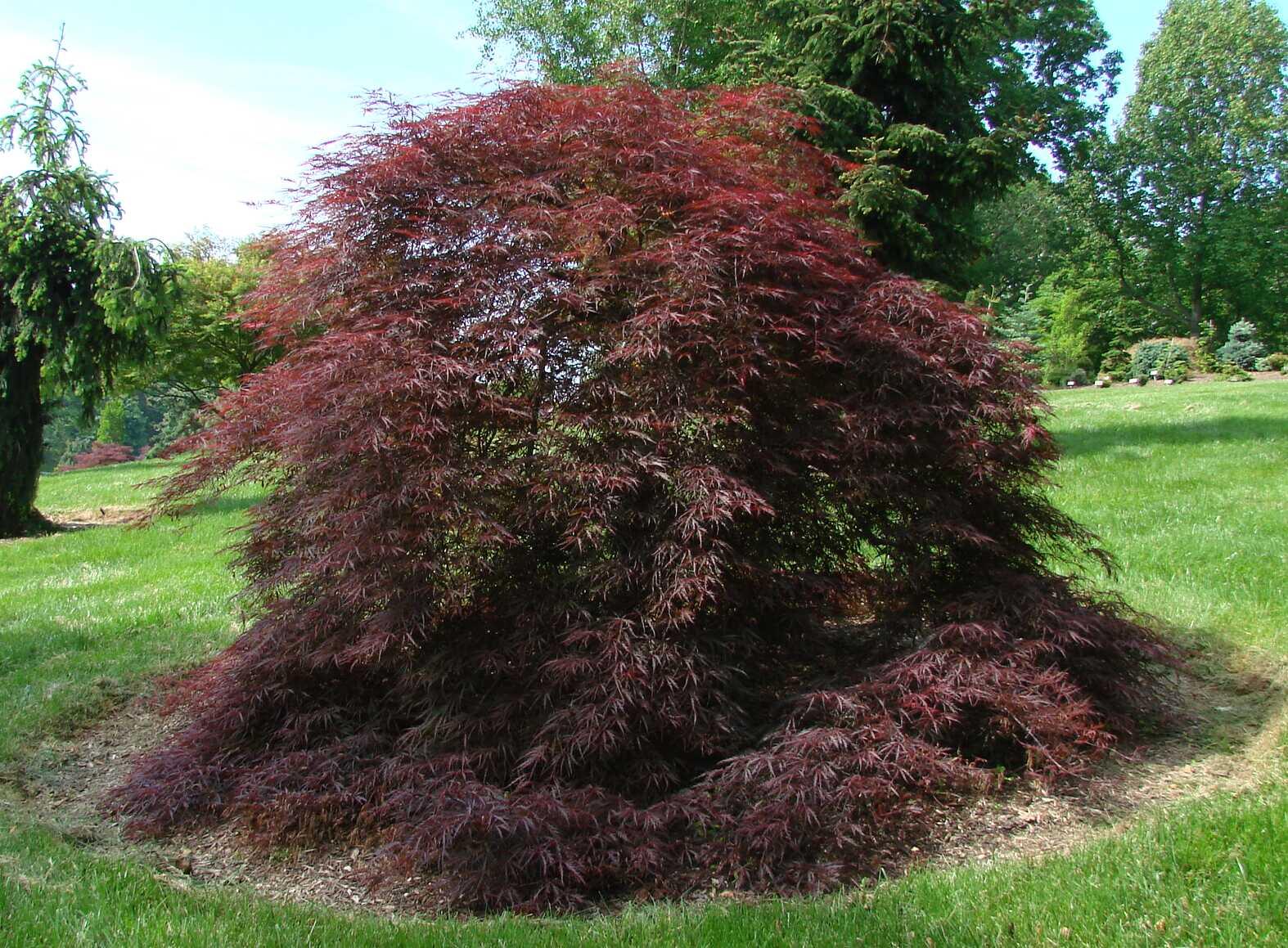 Acer Palmatum Dissectum Tamukeyama The Site Gardener