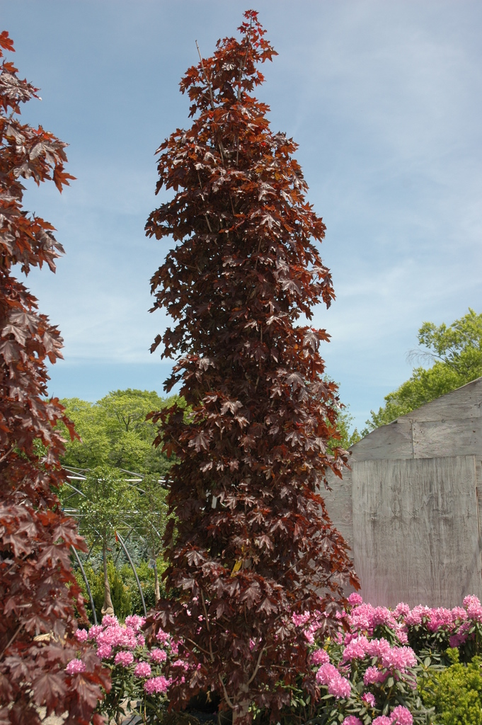 Acer platanoides 39 crimson sentry 39 the site gardener - Arce platanoide ...