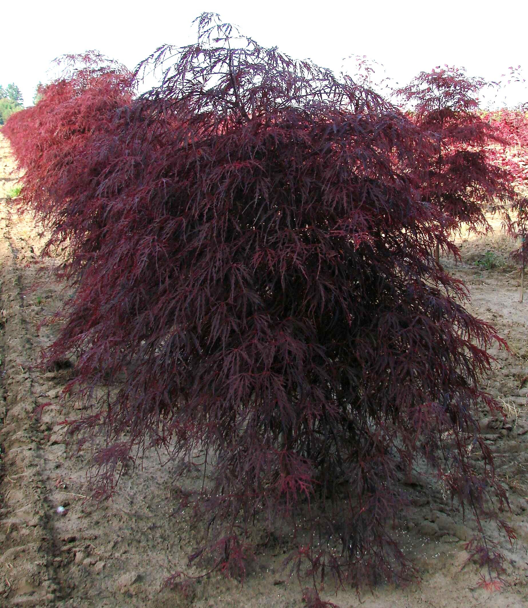 acer palmatum dissectum 39 garnet 39 the site gardener. Black Bedroom Furniture Sets. Home Design Ideas