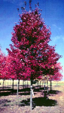 Acer Rubrum Brandywine