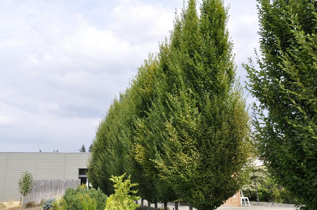 carpinus betulus 39 fastigiata 39 the site gardener. Black Bedroom Furniture Sets. Home Design Ideas