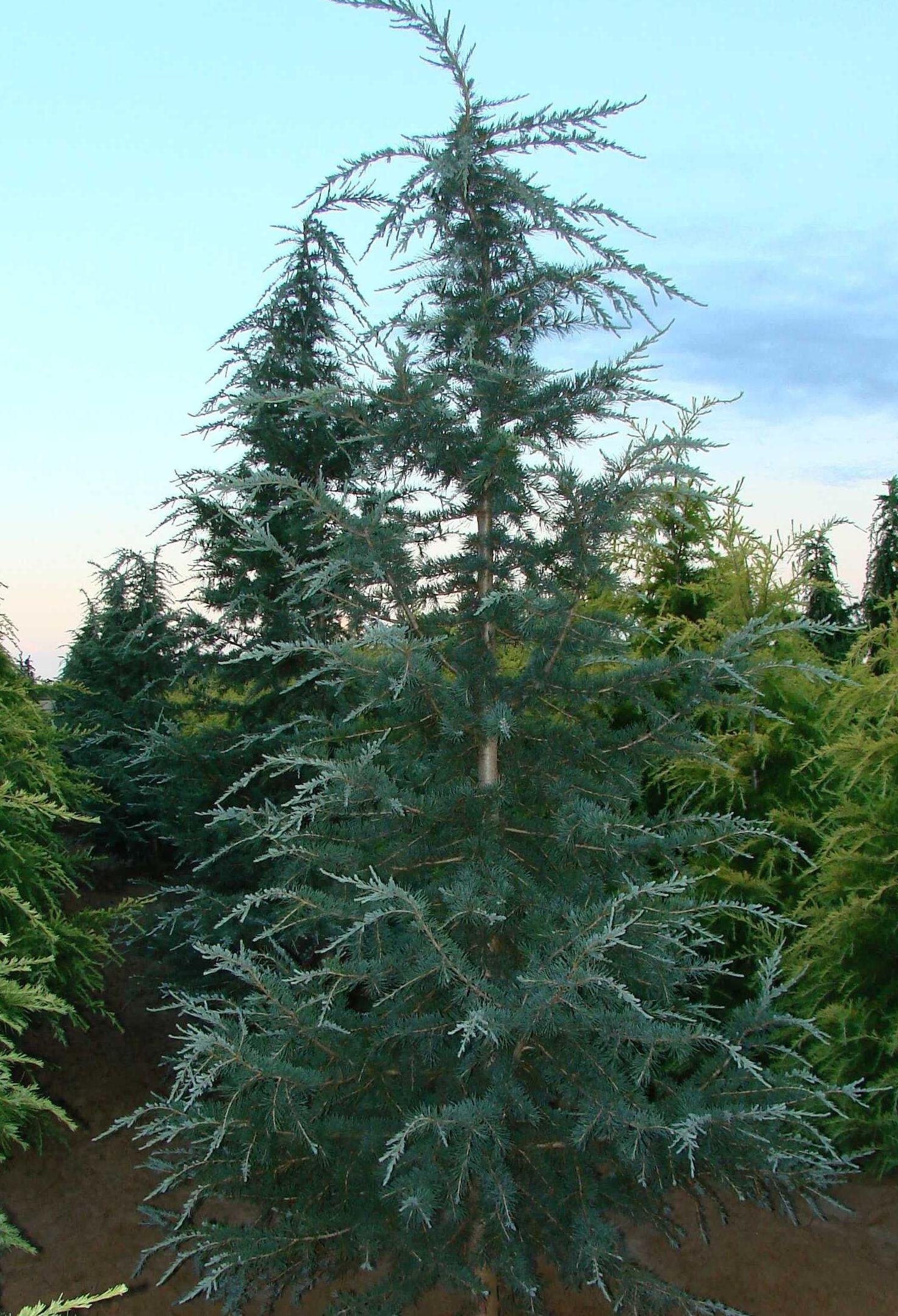 Deodar Cedar Tree Varieties ~ Cedrus deodara karl fuchs the site gardener