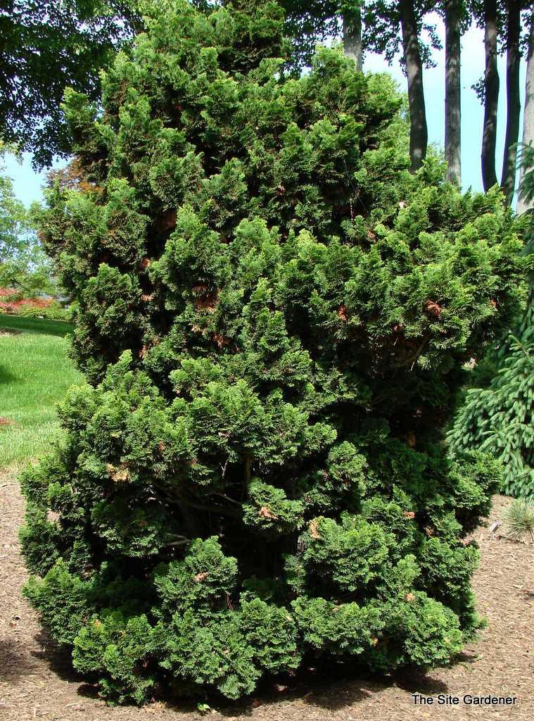 chamaecyparis obtusa gracilis nana the site gardener. Black Bedroom Furniture Sets. Home Design Ideas