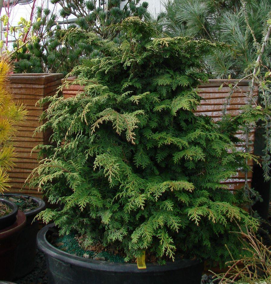 Chamaecyparis obtusa Kosteri Fast Form - The Site Gardener
