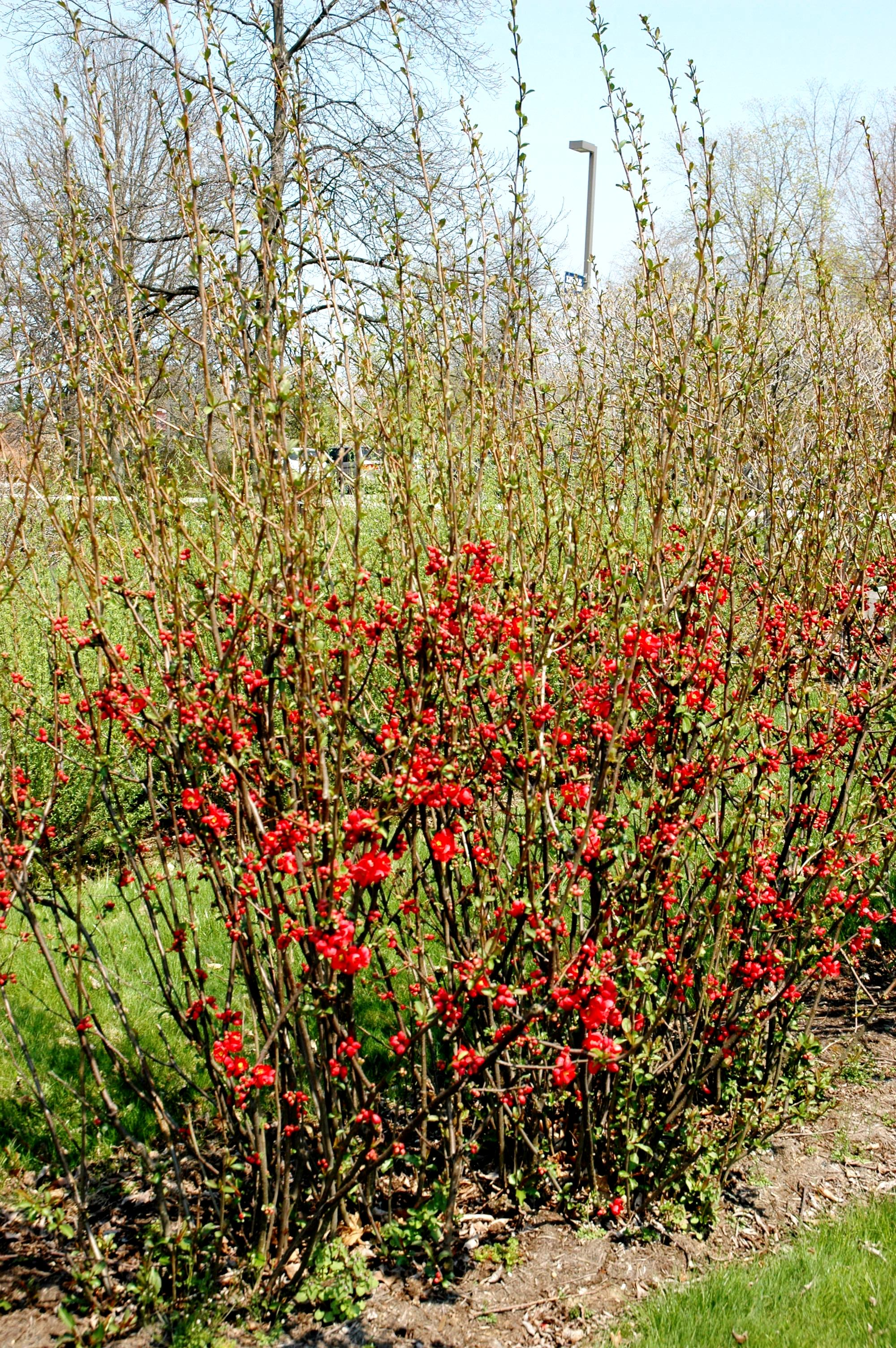 chaenomeles texas scarlet flowering quince hess landscape - Quince Flower